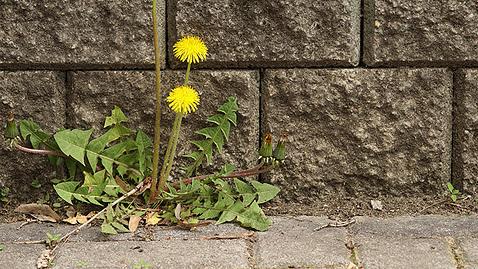 Ongewenste planten