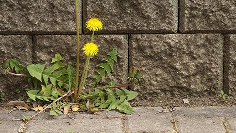 Plantes indésirables