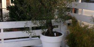 Olijfboom inpakken voor de winter