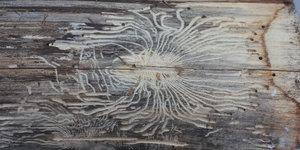 Débarrassez-vous efficacement des vers à bois